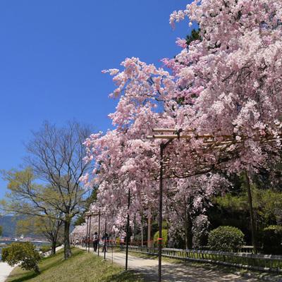 Square sm sakura